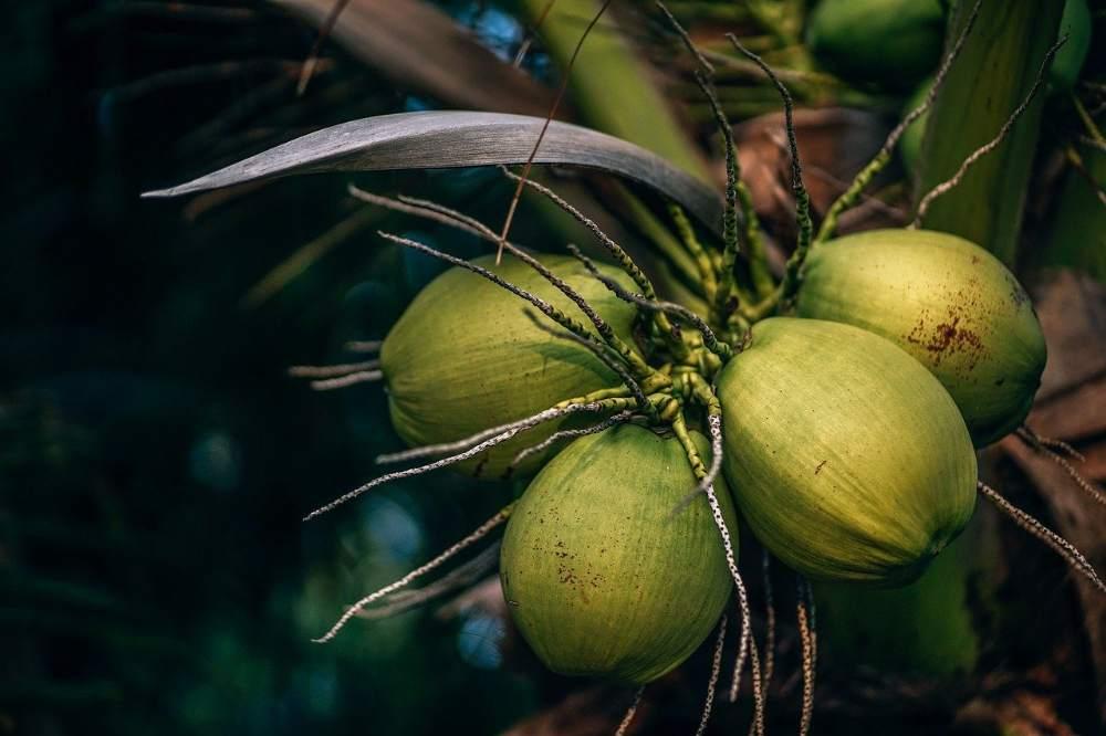 ಏಳನೀರಿನ ದುಷ್ಪರಿಣಾಮಗಳು - Coconut Water Side Effects in Kannada