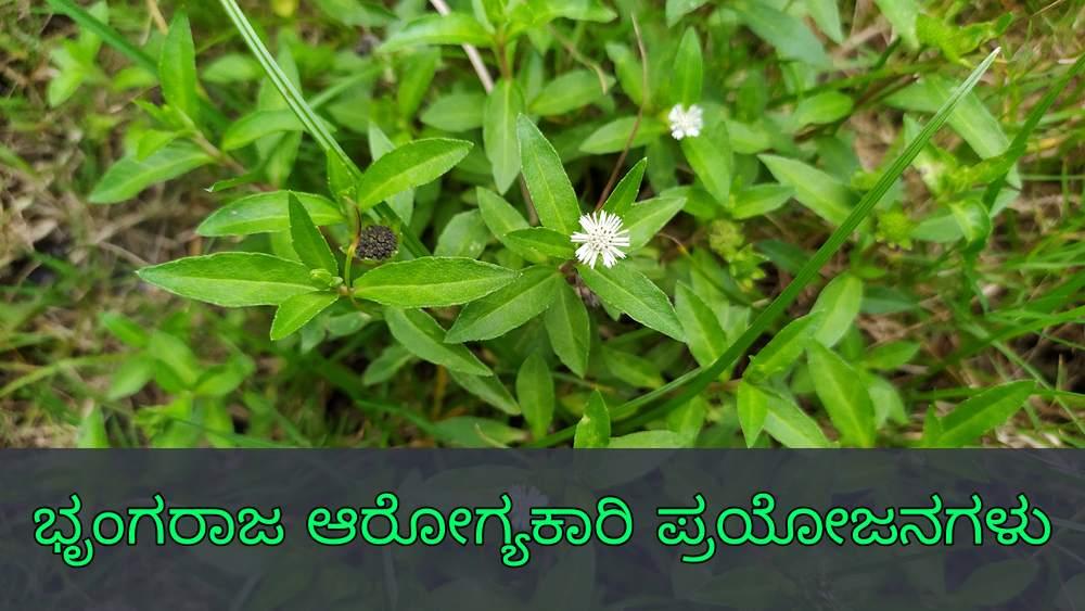 ಭೃಂಗರಾಜ ಪ್ರಯೋಜನಗಳು - Bhringraj Benefits in Kannada