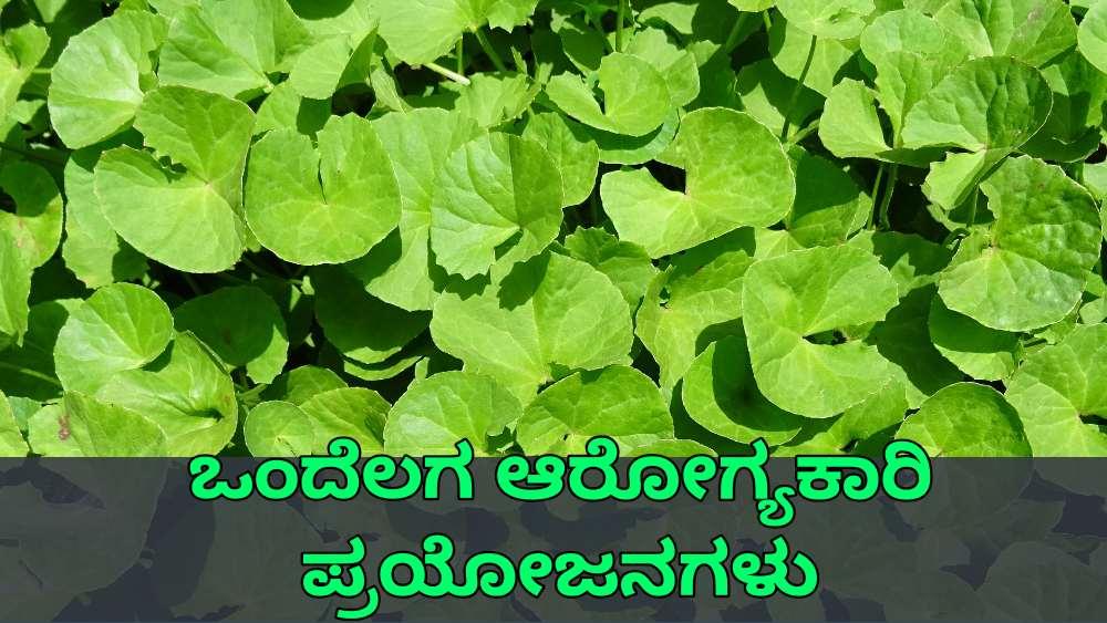 ಒಂದೆಲಗ ಪ್ರಯೋಜನಗಳು - Gotu Kola Benefits in Kannada