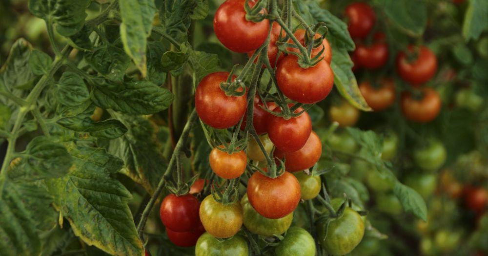 ಟೊಮೆಟೊ ಕೃಷಿ: Tomato Cultivation in Kannada